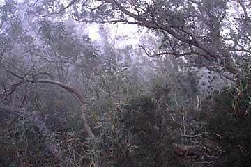 der nebelverhangene Tamarinden- und Calumet-Wald beim Maiido, Réunion