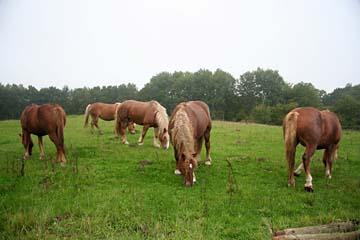 Pferde im Südosten der Insel Rügen