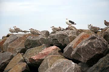 Möwen auf der Hafenmauer in Lohme, Nordostrügen