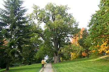 Baumriesen im Schloßpark von Putbus, Insel Rügen