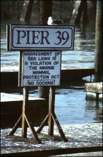 Möwen am Pier 39 in San Francisco