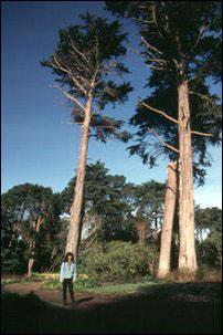Baumriesen im Golden Gate Park, San Francisco