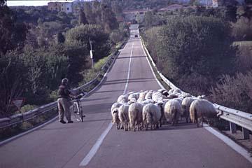 Schafe bei La Caletta auf Sardinien, Italien