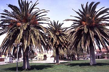 Palmen im Städtchen Terralba auf Sardinien, Italien