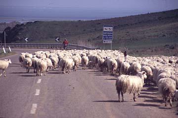 Schafherden auf den Straßen von Sardinien, Italien