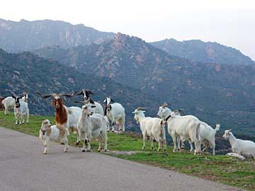 eine Herde Ziegen bei Barisardo, Sardinien