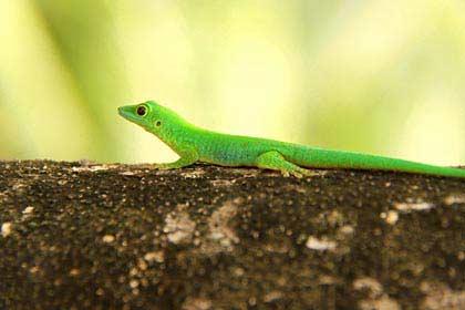 Ein krass grüner Taggekko auf La Digue