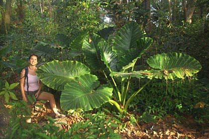 Riesige Blätter auf der Tropeninsel La Digue