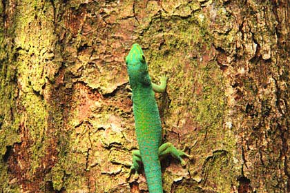 Grüne Gekkos sind auf den Seychellen recht häufig