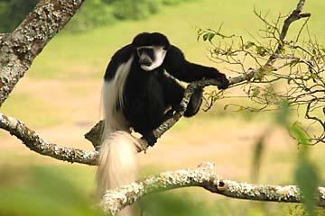 Ein markanter Mantelaffe im Arusha Nationalpark