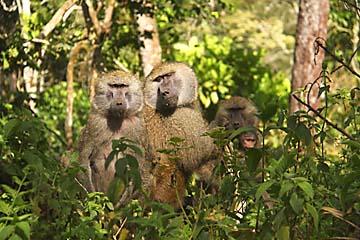 Eine Pavian-Familie im Gebüsch von Arusha