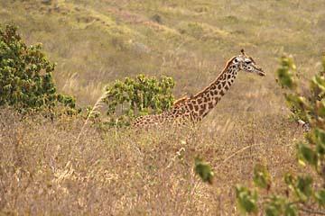 Eine Giraffe ragt aus dem hohen Gras heraus