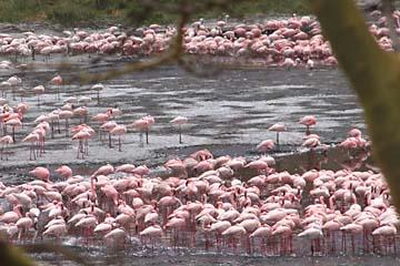 Viele Flamingos gibt es an den Momella Lakes