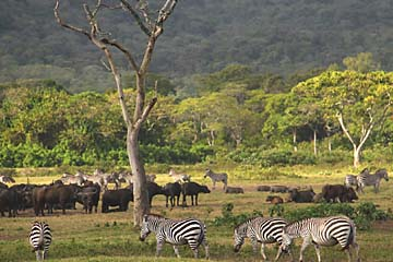 Zebras und Büffel grasen friedlich in Arusha
