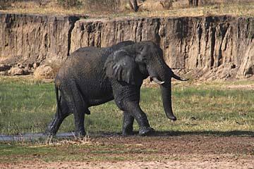 Ein mächtiger Elefant nach dem Bad im Tarangire Nationalpark