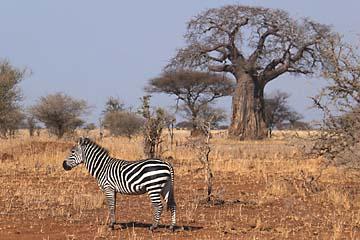 Ein Zebra vor einem riesigen Affenbrotbaum