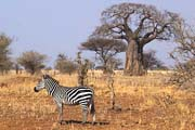 Ein Zebra vor einem Affenbrotbaum im Tarangire Nationalpark