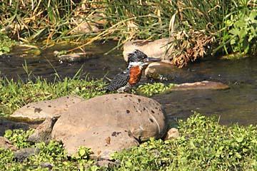 Ein Eisvogel an einem Wasserlauf