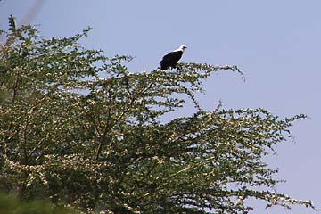 Ein Weisskopfadler im Manyara Nationalpark