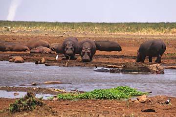 Einige Flußpferde an einem Hippo-Pool