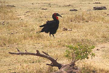 Ein Rotwangenhornraben im Manyara Nationalpark