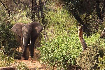 Ein Elefant kommt aus dem Unterholz auf uns zu