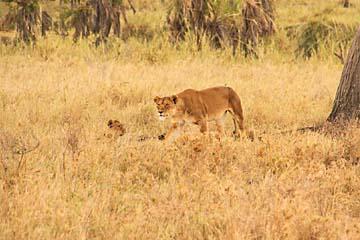 Eine Löwin sieht eine Thomson-Gazelle und geht auf die Pirsch