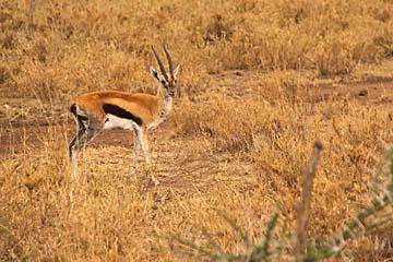 Eine Thomson-Gazelle in der Serengeti