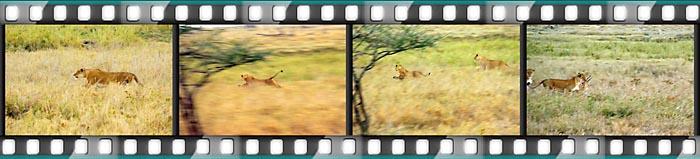 Die Löwin in der Serengeti auf der Jagd