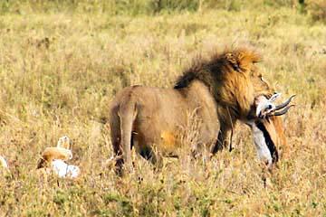 Ein Löwe macht Beute in der Serengeti