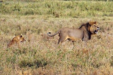 Der Löwe zeigt wer Herr in der Serengeti ist