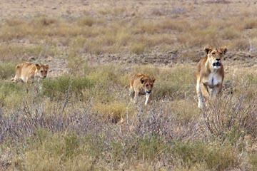 Eine Löwin und ihre Jungen in der Serengeti