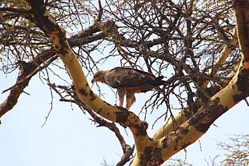 Ein Adler auf einem fever tree in der Serengeti