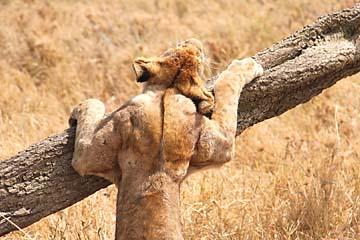 Eine Löwin macht Dehnungsübungen in der Serengeti