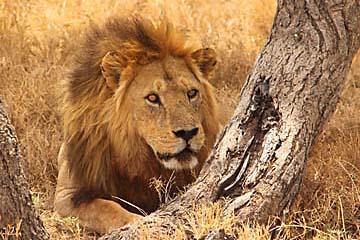 Eine stattlicher männlicher Löwe in der Serengeti