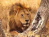 Ein Löwe im Seregneti Nationalpark in Tansania
