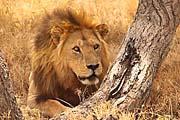 Ein Löwe bei der Safari in Tansania