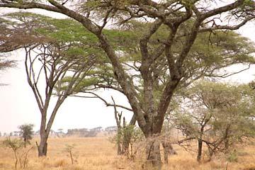 Wir sehen einen Leoparden auf dem Baum