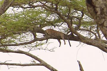 Ein Leopard in der Serengeti