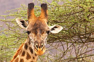 Eine Giraffe beobachtet uns genau im Serengeti Nationalpark