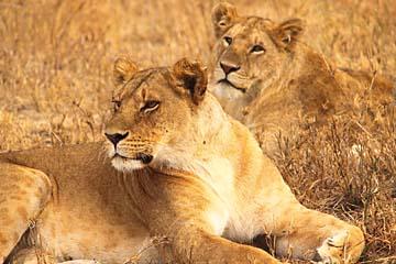 Die Führerin eines Löwenrudels in der Serengeti