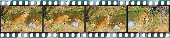 Ein Löwe ärgert sich über Tsetse-Fliegen