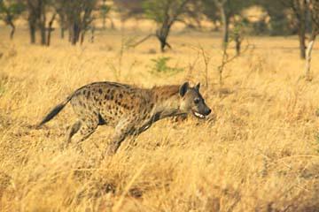 Ein Hyäne rennt zu einem Kadaver