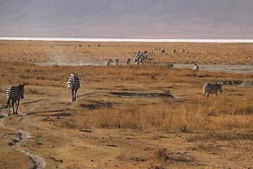 Zebras auf einem ausgelaufenen Pfad im Krater