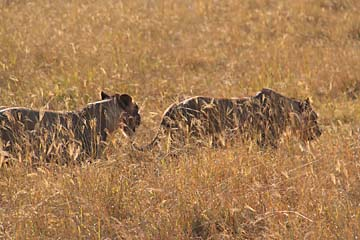 Löwen auf der Suche nach Beute im Ngorongoro Krater in Tansania