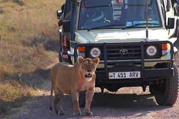 Löwen in Ngorongoro sind mit Autos auf Du und Du