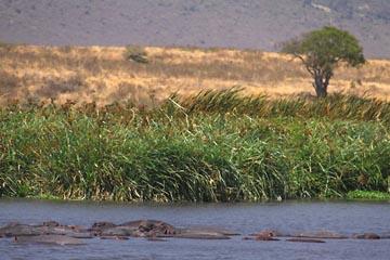 Flusspferde im Ngorongoro Krater