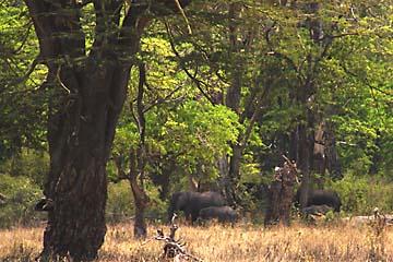 Elefanten im Lerai Forest im Ngorongoro Krater