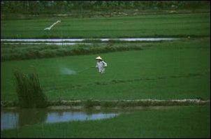 Reisanbau in Kambodscha und Vietnam