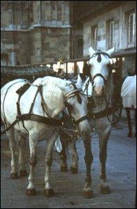 ein Pferdegespann vor dem Steffl, Wien